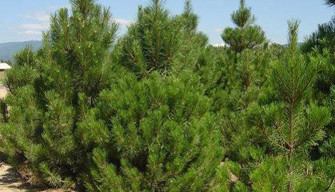En İyi Yay Hangi Ağaçtan Yapılır?